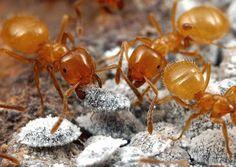 Lasius (Acanthomyops) californicus - Citronella Ants
