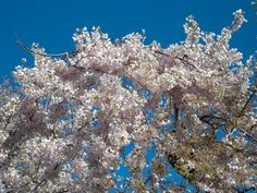 Have you been thinking about planting cherry trees? Whether grown for its fruit or blossoms, this article gives tips on how to grow a cherry tree in your…