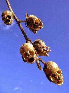 """""""Antirrhinum¸ Dragon's Skull"""" ─  Il suo baccello è sorprendentemente simile a un teschio umano. The Repulsive Complexion of Snapdragon Seed Pods."""