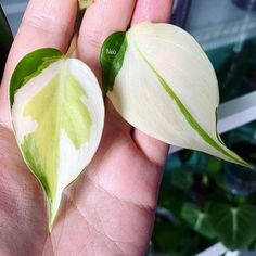Philodendron Brasil tricolor Pothos Plant, Plant Aesthetic, Variegated Plants, Rare Plants, Interior Plants, Tropical Plants, Plant Decor, Horticulture, Houseplants