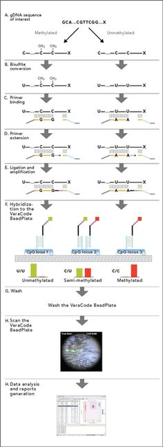 Veracode GoldenGate Methylation Assay Workflow Genetics, Science, Science Comics