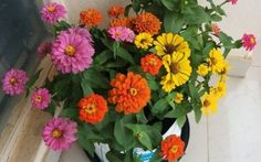 Want to grow splash of colors & heavy blooms in Pot ? Zinnia is best - Plant Talk - NurseryLive Wikipedia