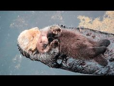 This clip will instantly lift your mood today and make your hearts melt for sure.  Read more http://gwyl.io/baby-otter-comfortably-sleeps-mamas-belly/