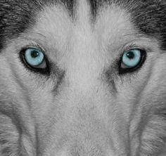 Siberian Husky - blue eyes!