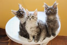 kitty Family on Yummypets.com #kitten #cat #kitty #meow #mainecoon #animal #pets #chaton #chat
