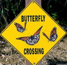 Monarch - Butterfly crossing #Santa Cruz #California