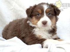 #AustralianShepherd #Charming #PinterestPuppies #PuppiesOfPinterest #Puppy #Puppies #Pups #Pup #Funloving #Sweet #PuppyLove #Cute #Cuddly #Adorable #ForTheLoveOfADog #MansBestFriend #Animals #Dog #Pet #Pets #ChildrenFriendly #PuppyandChildren #ChildandPuppy #LancasterPuppies www.LancasterPuppies.com