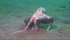 Incredible Octopus Behavior Nearly Caused Scientist To Drown From Laughing