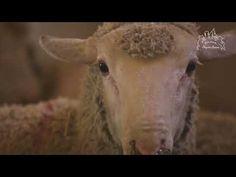 Aïd el-Kebir 2019 : 220 moutons sauvés et recueillis par la FBB ! - YouTube Fondation Brigitte Bardot, Animals, Animales, Animaux, Animal, Animais