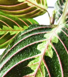 prayer plant care tips. how to care for maranta houseplants. visit BLOG at: www.plantsdontwine.com