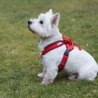 Bertie with Doddle Dog Pod on Harness