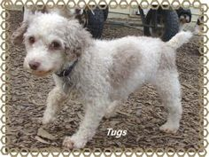TUGS is an adoptable Poodle Dog in Toledo, OH. DOB: 6/23/08 My name is Tugs and I am pleased to meet you. Well I haven't met you yet but I will be pleased to meet you when I do. I am a small 6 poun...