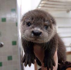 Baby Otter - Oh Soooo Cute!