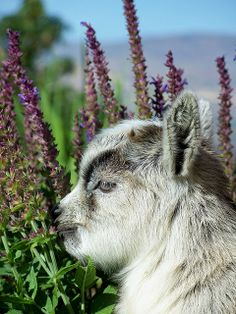 Pygmy Goat Doeling by TheBigWRanch12, via Flickr