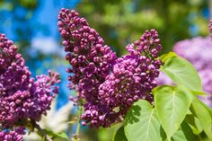 Lilac at spring by TalyaPhoto on @creativemarket