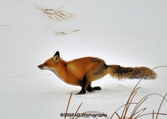 Movement in the fox, directional, use tail for background swish maybe.