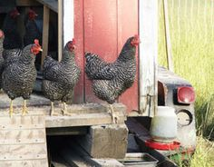 Free-range chickens will naturally return to their chicken coop at night. Learn how to train your free-range chickens to return to their roost at any time of day by using kitchen scraps.