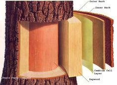 Cornell - layers of bark to understand when grafting fruit trees. More