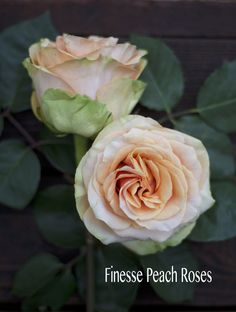 Rosaprima Peach Finesse Rose