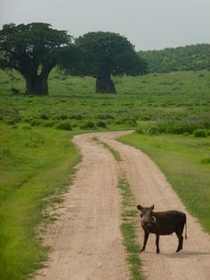 #Warthog crossing path @ #Ruaha National Park in #Tanzania. Check out the user reviews of Ruaha NP, photo by Cathy