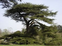 1000 Images About Plants Of Jamaica Shade Trees On