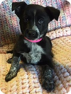 Los Angeles, CA - Border Collie/Cattle Dog Mix. Meet Daphne, a puppy for adoption. http://www.adoptapet.com/pet/17093405-los-angeles-california-border-collie-mix