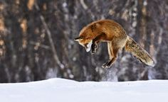 mouse pouncing  #nature #fox #winter