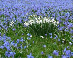 Schneeglöckchen Blausterne