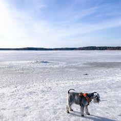 Almoust no ice on the sea. Yep summer is just ... well hope so. #winter #summer #uusikaupunki #miniatureschnauzer #schnauzer #landscape #sea #dog
