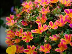 Hanging portulaca...one of the prettiest baskets I had last year.  Drought resistant, full sun tolerant.