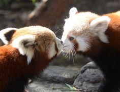 Red pandas kiss.
