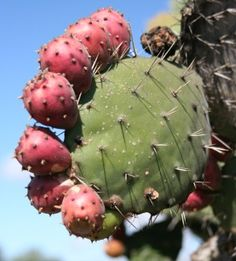 """Prickly Pear Seed Oil is being touted as the """"new argan"""" oil- the newest beauty oil secret to treat fine lines & wrinkles (benefits & recipes) Prickly Pear Wine Recipe, Prickly Pear Recipes, Prickly Pear Cactus, Prickley Pear, Pear Fruit, Edible Food, Organic Living, Oil Benefits, Healthy Fruits"""