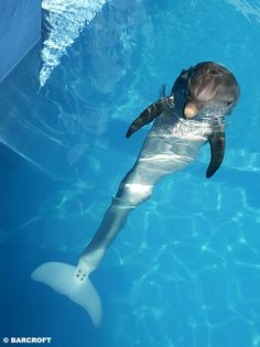 Winter the dolphin is an inspirational animal. She lost her tail after being caught in a crab trap and she survived despite all the adversity of such a catastrophic injury to a marine mammal. She had a will to survive and learned to swim again with the help of a prosthetic tail.