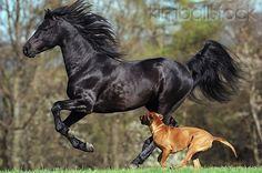 Morgan Horse Stallion Galloping Next To Rhodesian Ridgeback In Field - Kimballstock