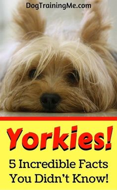 Yorkies are small but make up for it with big personalities! But you already knew that. Learn 5 cool facts, and watch a cool video about Yorkshire Terriers, all by reading our article!