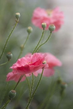"""chasingrainbowsforever: """" Softly and Tenderly """" Exotic Flowers, Amazing Flowers, My Flower, Pretty Flowers, Pink Flowers, Flower Background Wallpaper, Flower Backgrounds, Beautiful Flowers Wallpapers, Pink Poppies"""