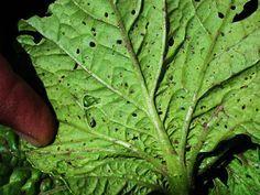 Esta es una imagen de una lechuga con plaga, y la plaga en las lechugas es común ya que a algunas babosas les gusta mucho comer la lechuga. las babosas se eliminan quitandose manualmente de las plantas. a manera que la planta madura las babosas dejan de ser tanto problema, ya que ellas prefieren plantulas tiernas. si no controlamos las babosas en las plantulas pueden ser eliminadas. Estela Villa 18/04/2015