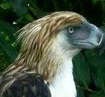 Aguila Monera. Pithecophaga jejjeryi,  Es la mayor rapaz de las selvas de Filipinas y una de las especies tropicales de águila más grandes.