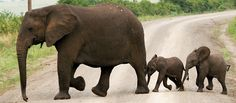 I would love to see these beautiful creatures walk right in front of me! Elephant Family, Elephant Love, Mama Elephant, Elephant Walk, Elephant Parade, Beautiful Creatures, Animals Beautiful, Elefante Dumbo, Elephas Maximus