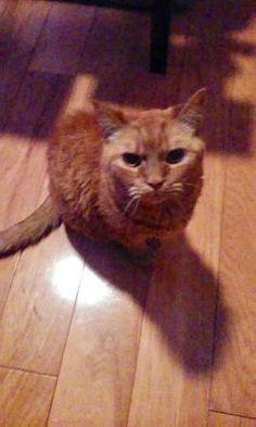LOST CAT: 10/01/2017 - San Diego, California, CA, United States. Ref#: L38302 - #CritterAlert #LostPet #LostCat #MissingCat