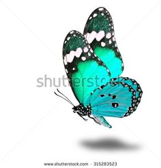 The beautiful flying light green butterfly with nice soft shadow on white background