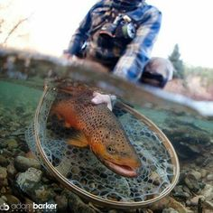 Brown trout on the fly.
