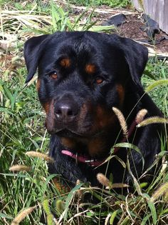 Rottweiler-Such a pretty baby!