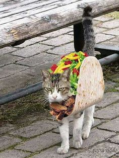 This cat looks flaming MAD about wearing a taco costume! HA!!