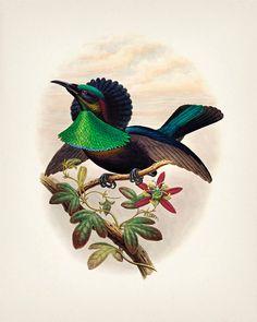 Pájaro de Duivenbode del Paraíso - 8x10 - impresión de la bella arte de una historia natural de la vendimia ejemplo antiguo