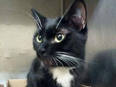 TO BE DESTROYED 10/18/14 **  ADORABLE YOUNG TUXIE! Sofia's former owner stated she loves to play, enjoys petting, loves to cuddle & be picked up.  Sofia tolerates attention and petting but may be fearful in the shelter. ** Manhattan Center  My name is SOFIA. My Animal ID # is A1016815. I am a female black and white domestic sh mix. The shelter thinks I am about 1 YEAR 6 MONTHS old.  OWNER SUR on 10/08/2014 from NY 10458, ALLERGIES.