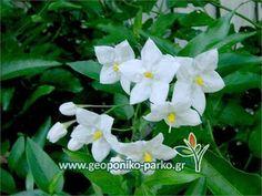 Αναρριχώμενα Φυτά : Σολάνο αναρριχώμενο | Solanum jasminoides
