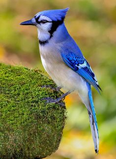 Blue Jay plumes d/'un Jay Wing full set 13+