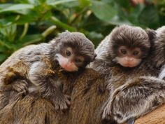 Emperor Tamarin Twins by JackieT - Photo 142992417 - 500px