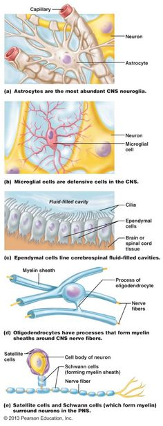 Astrocytes – CNS, star shaped, provide support between neurons an capillaries Microglial cells – CNS, phagocytic, macrophage like Ependymal cells – line cavities in CNS, produce and help circulate CSF Oligodendroglial cells – CNS, produce myelin sheaths in CNS